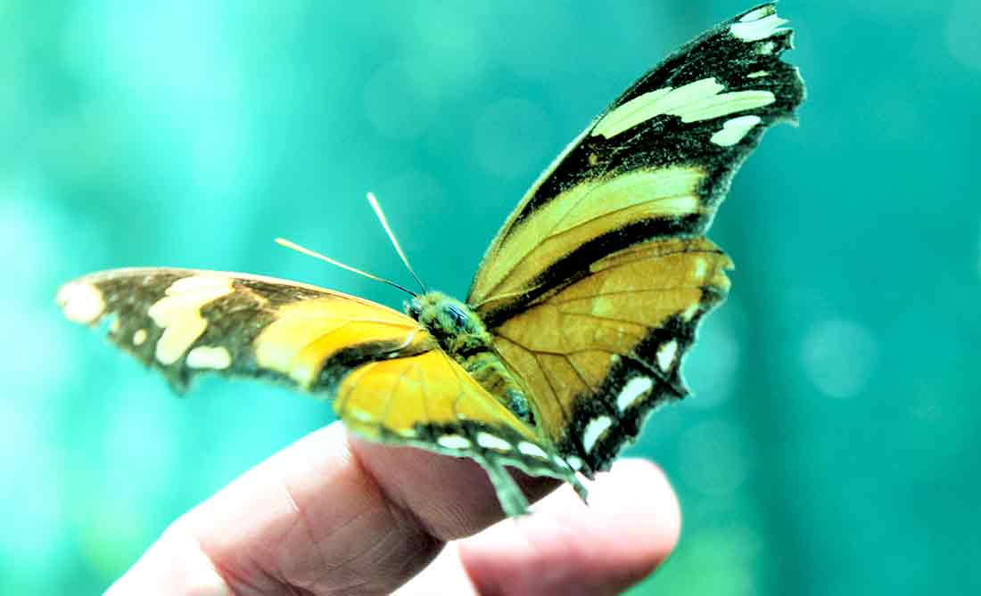 RETUS-Costa-Rica-Tours-Butterfly-4